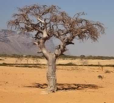 mirra árbol