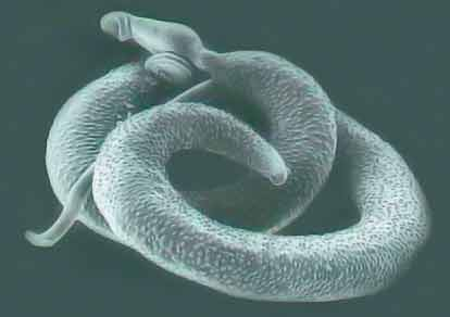 Schistosoma mansoni closeup picture