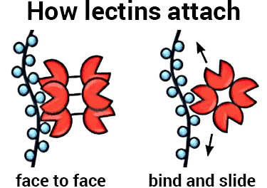 how lectins work