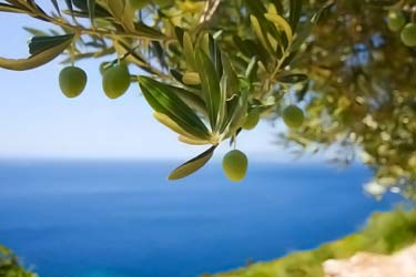 green olives hanging on tree in Mediterranean