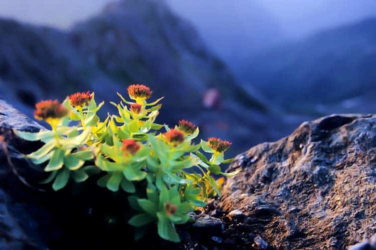 rhodiola rosea plant growing on Himalayan mountaintop