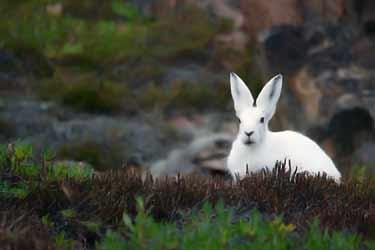 white northern rabbit