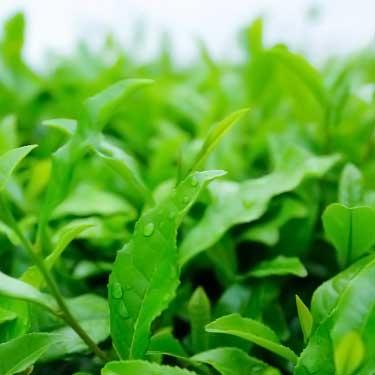 matcha tea plant