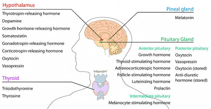 diagram of endocrine CNS and where hormones are made in brain