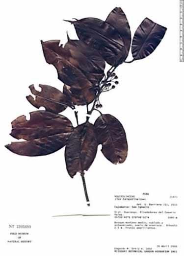 Té o' maté (Ilex tarapotina) leaves