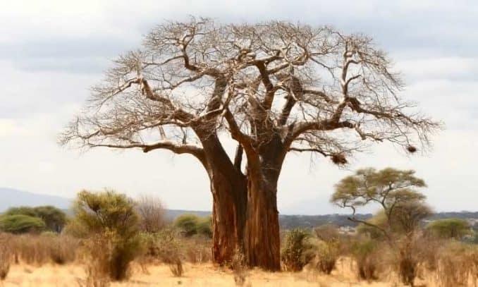 large baobab tree in Tanzania