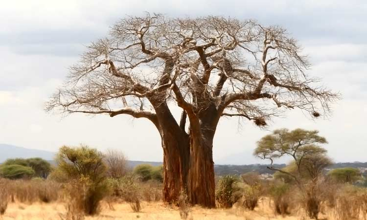large baobab tree in Tanzania