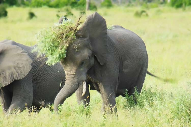 young elephant playing with food