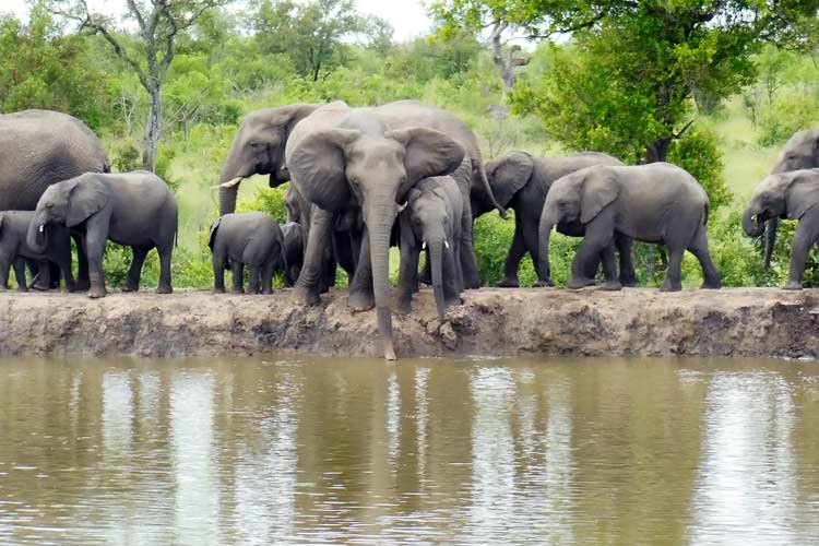 herd of elephants drinking at watering hole