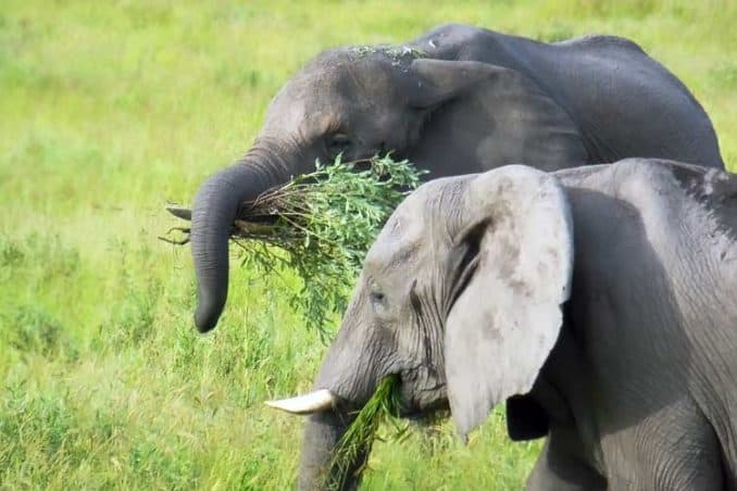 elephants eating in the wild