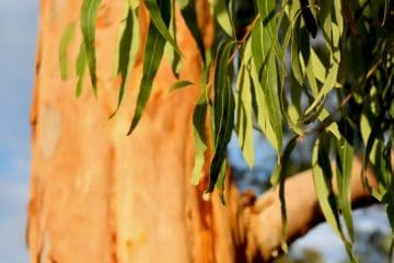 eucalyptus leaves on tree