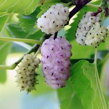 fresh mulberry on tree branch