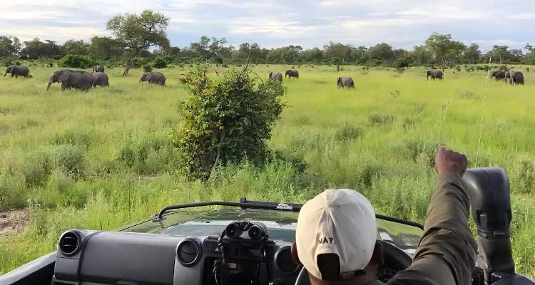 herd of grazing elephants in Botswana
