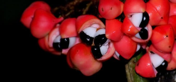 raw guarana fruit with seeds inside