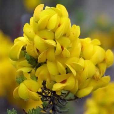 honeybush plant