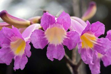 pink lapacho flowers