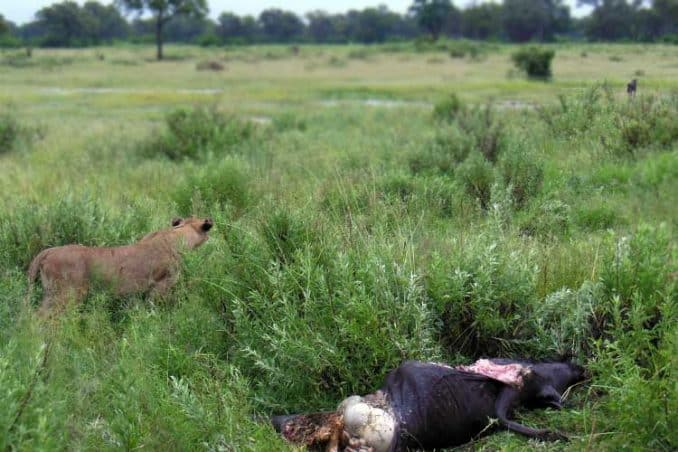 wildebeest killed by lion