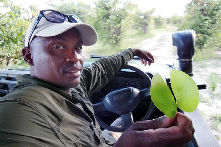 safari guide holding leaf from mopane tree