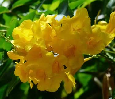 yellow bells trumpet tree (Tecoma stans)