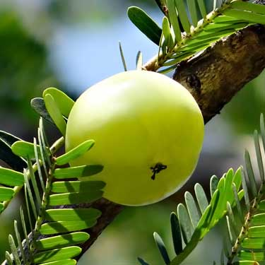 Indian gooseberry (amla) on tree