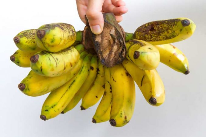 what fresh Gros Michel bananas look like