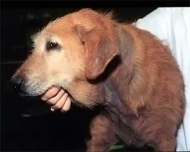 dog with Malassezia dermatitis