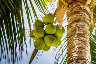 palm tree with green coconuts growing on it