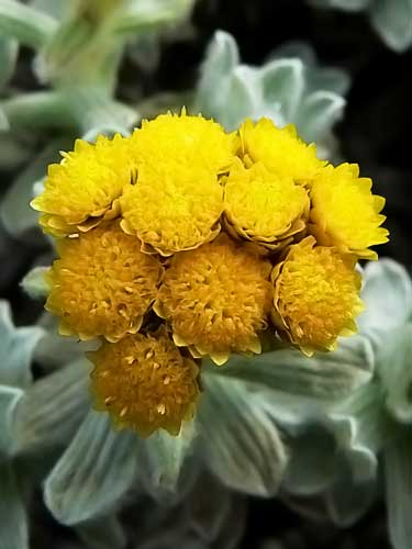 Helichrysum Essential Oil Uses Are Misguided Advice