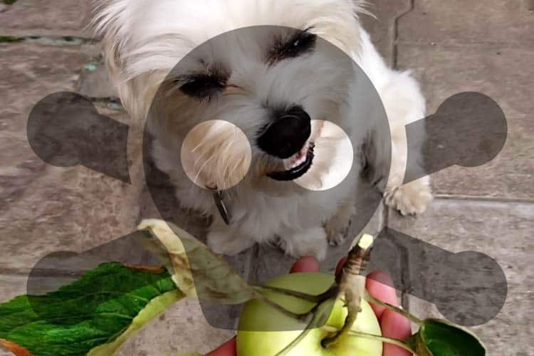 Shih Tzu looking at apple in man's hand with poison symbol