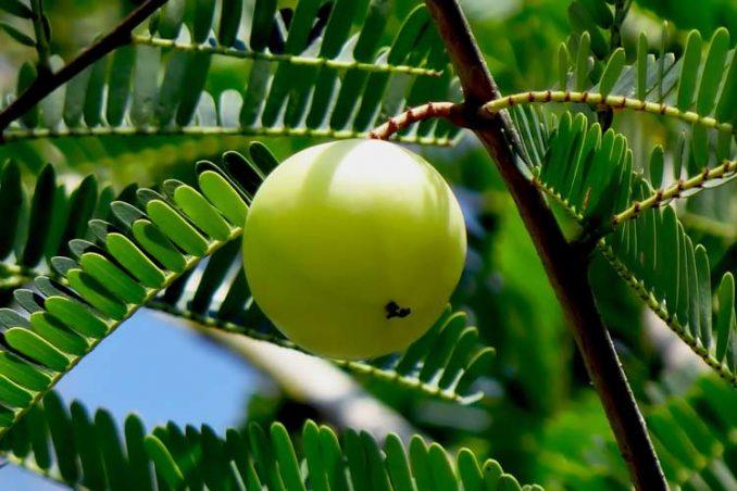 Indian gooseberry on tree