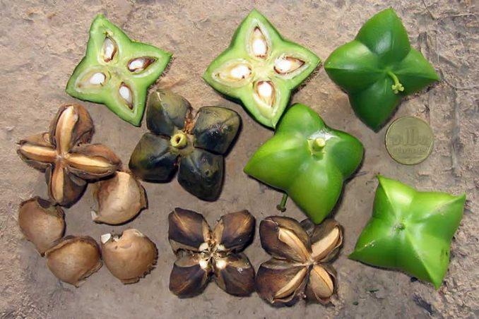 what sacha incha nuts and fresh fruit pods look like