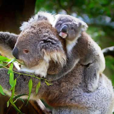mother and baby koala eating leaves