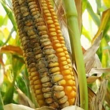 mazorca de maíz infestada de aflatoxina