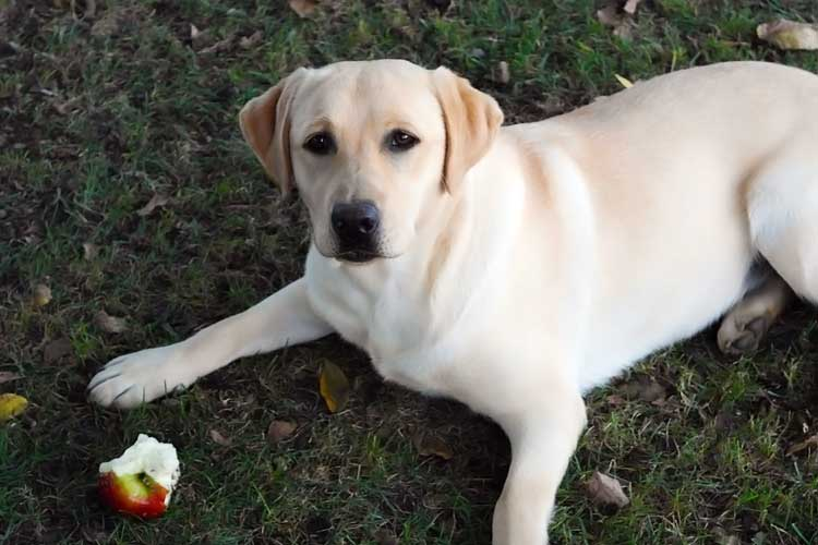 Labrador Retriever eating an apple core