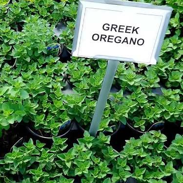 Greek oregano plant, Origanum Vulgare hirtum