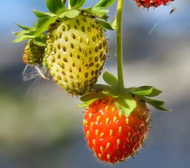 unripe green strawberry