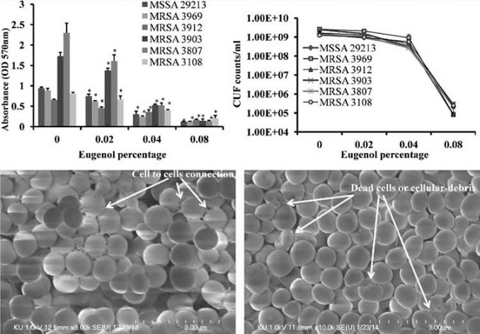 antibiotic effects of clove eugenol on different strains of MRSA infections