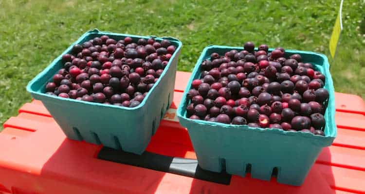 two quarts of freshly picked saskatoon berries