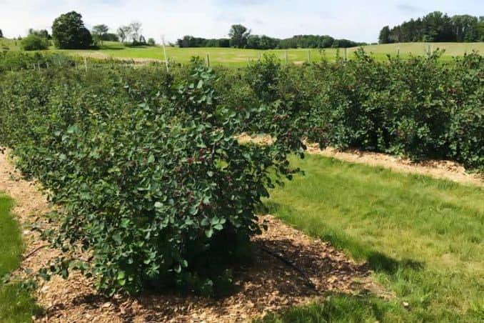 orchard of saskatoon trees