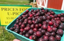 quart of freshly picked saskatoons or juneberries