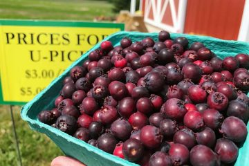 quart of freshly picked saskatoons or juneberries