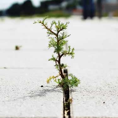 weed growing in concrete