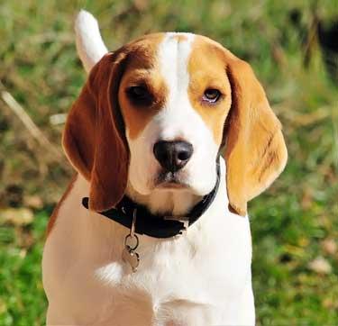average Beagle