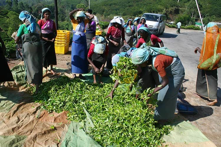 women harvesting fresh tea leaves in Sri Lanka