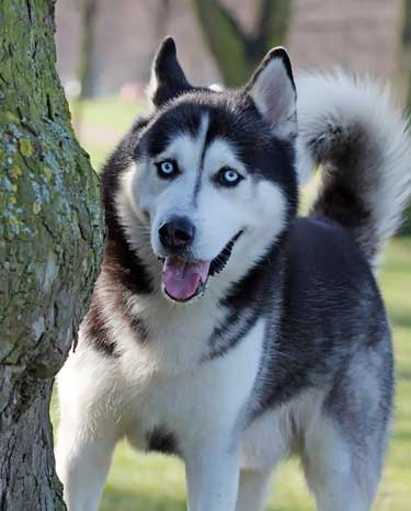 blue-eyed Siberian Husky