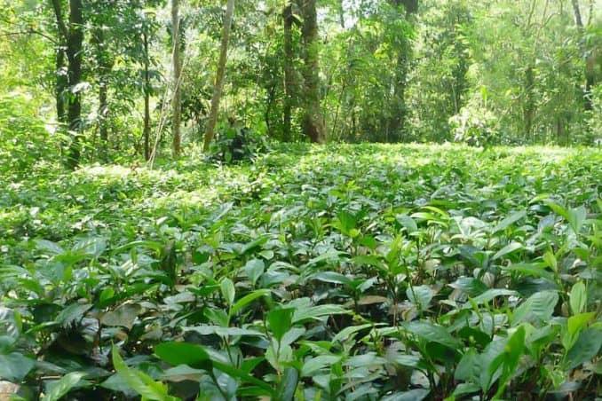 tear farm in Sri Lankan rain forest