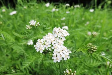 wild yarrow flower