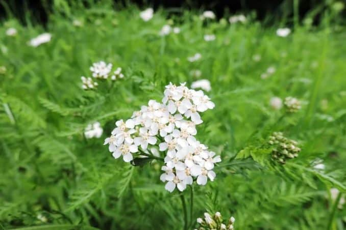 wild yarrow flower