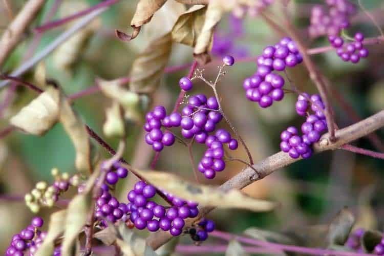 branch with beautyberries on them during fall