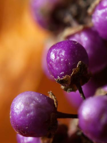 closeup photo of callicarpa fruit